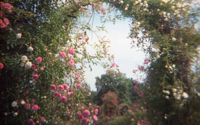Photo: tangled arch of pink wild roses with a glimpse of the sky